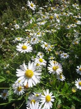 ヨメナも花盛り