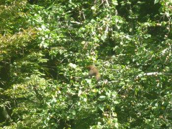 ヤマナシの木